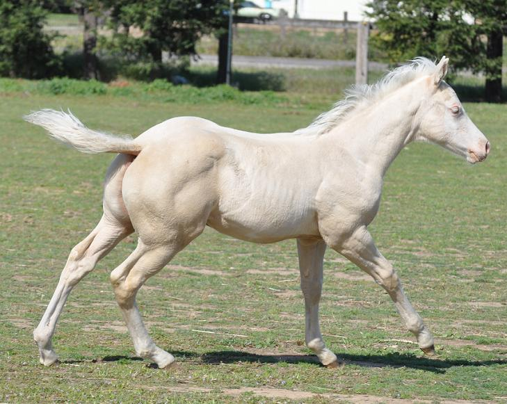 Double papered AQHA/APHA palomino overo halter stud colt