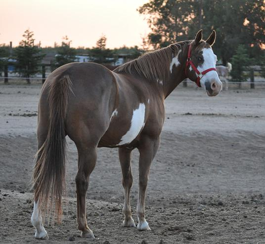 Double paper AQHA/APHA mare carries pearl gene