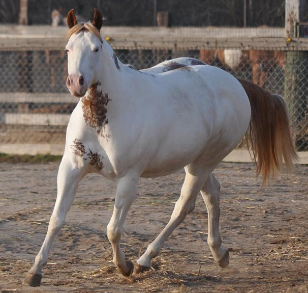 APHA halter mare by Mighty Awesome sabino overo