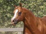 double papered AQHA and APHA palomoino overo halter stallion N/N