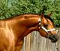 Buckskin quater horse halter stallion