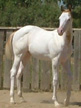 Halter horse for sale