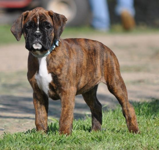 Akcpup Wksbluefemale X on Reverse Brindle Boxer For Sale